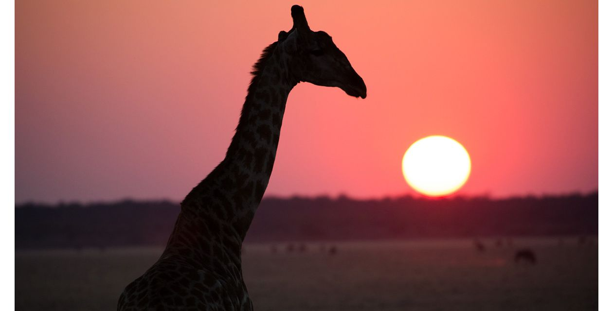 A silhouette of a giraffe with a setting sun